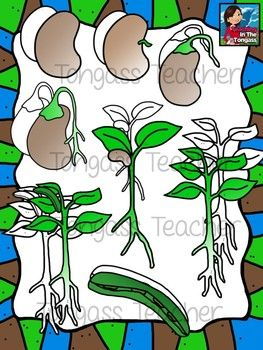 Plant life cycle science. Beans clipart lima bean