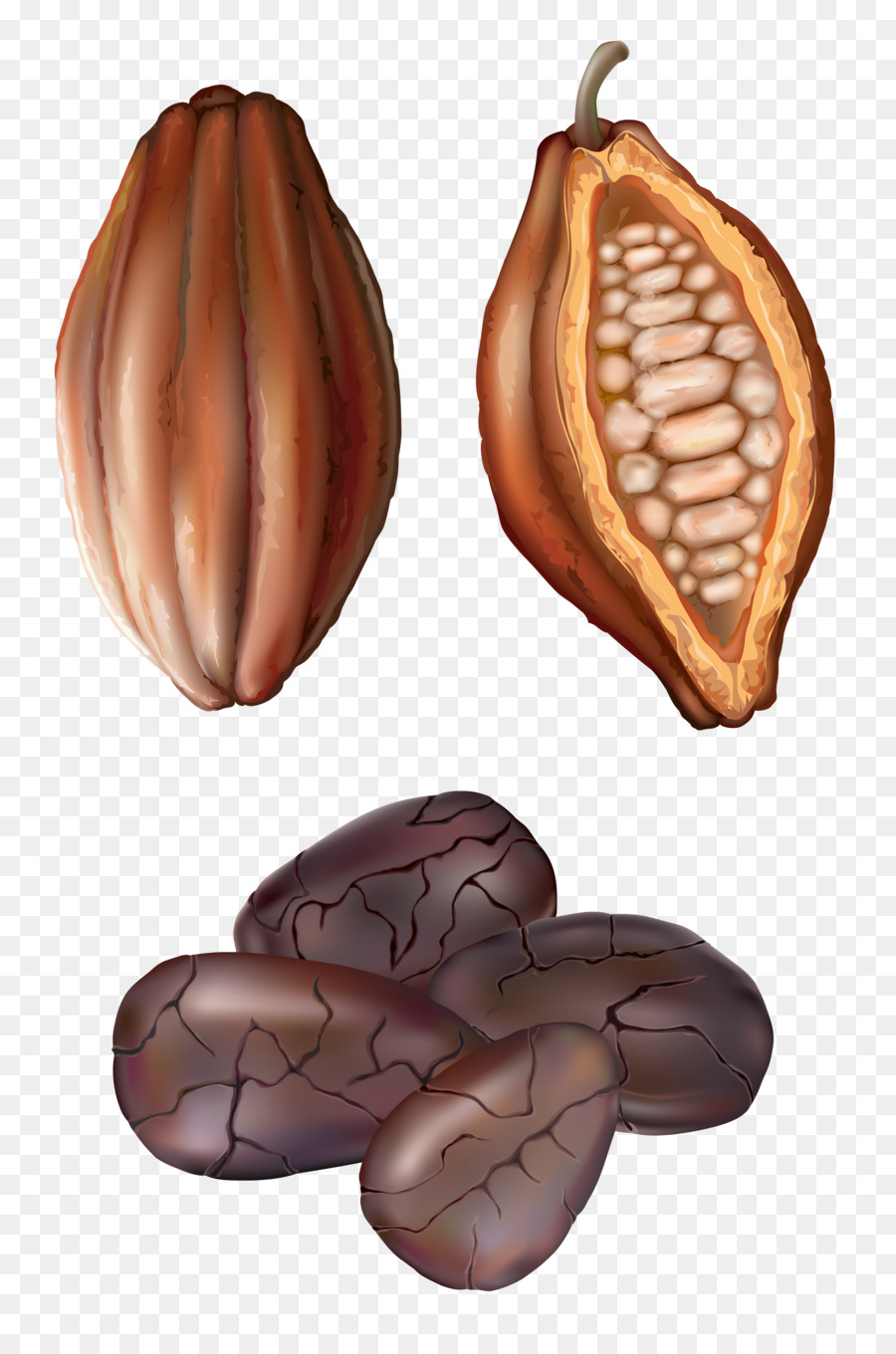 Cocoa bean drawing royalty. Beans clipart nuts