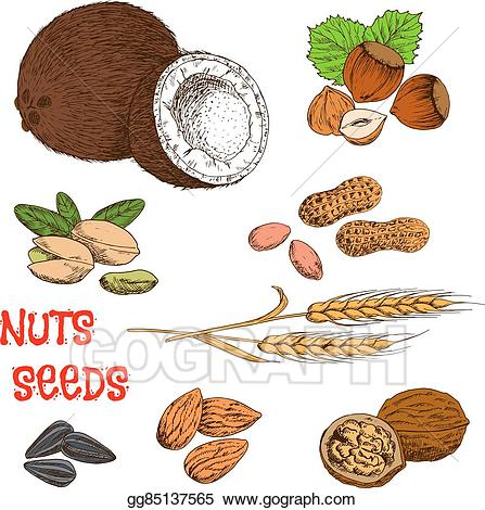 Eps vector nuts seeds. Cereal clipart sketch