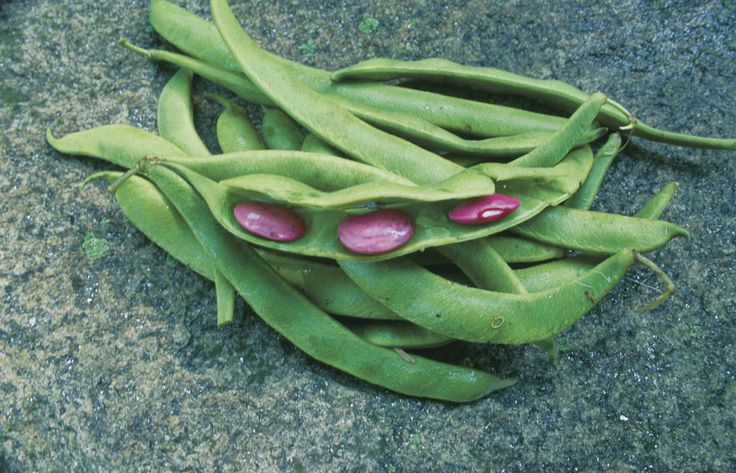 Beans clipart runner bean.  best growing images