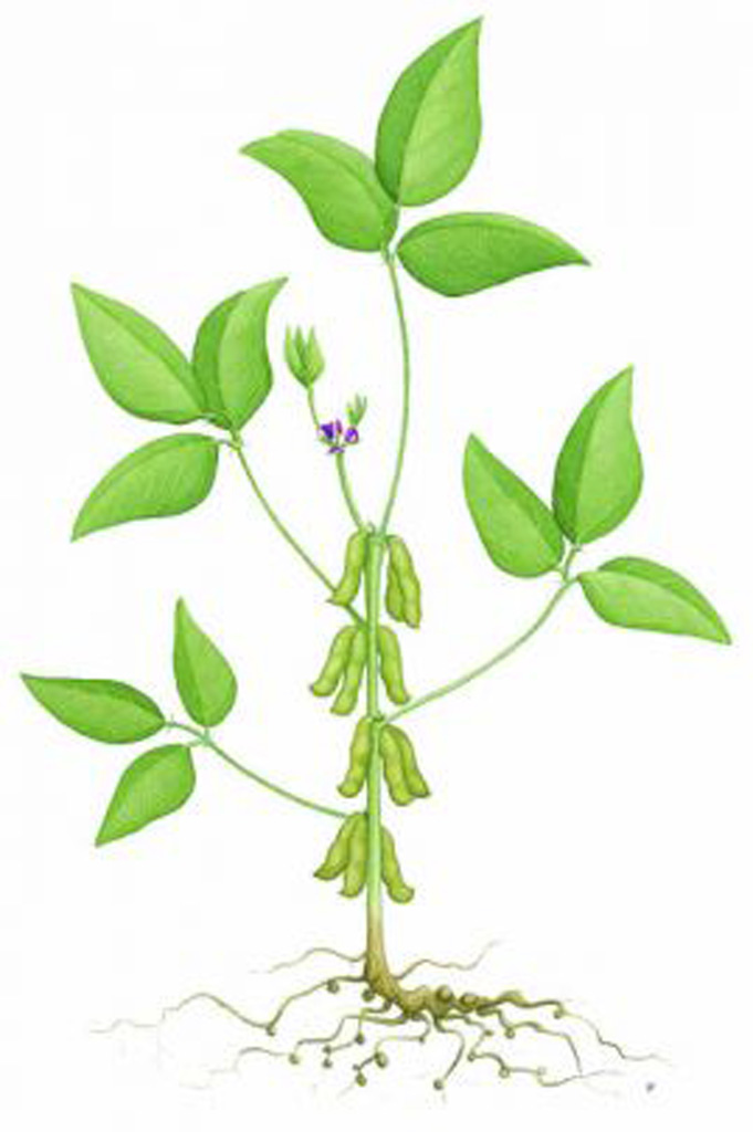 Diagram of plants for. Beans clipart soybean