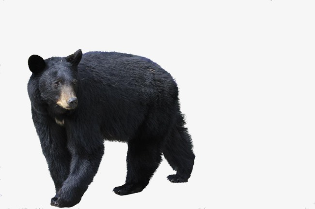 Bear clipart american black bear. Animal png image and