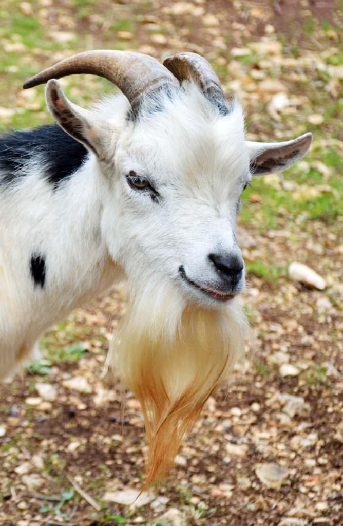 Beard clipart goat. Here is a list
