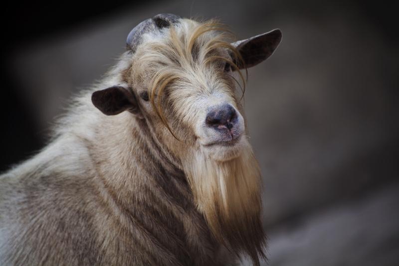 beard clipart goat