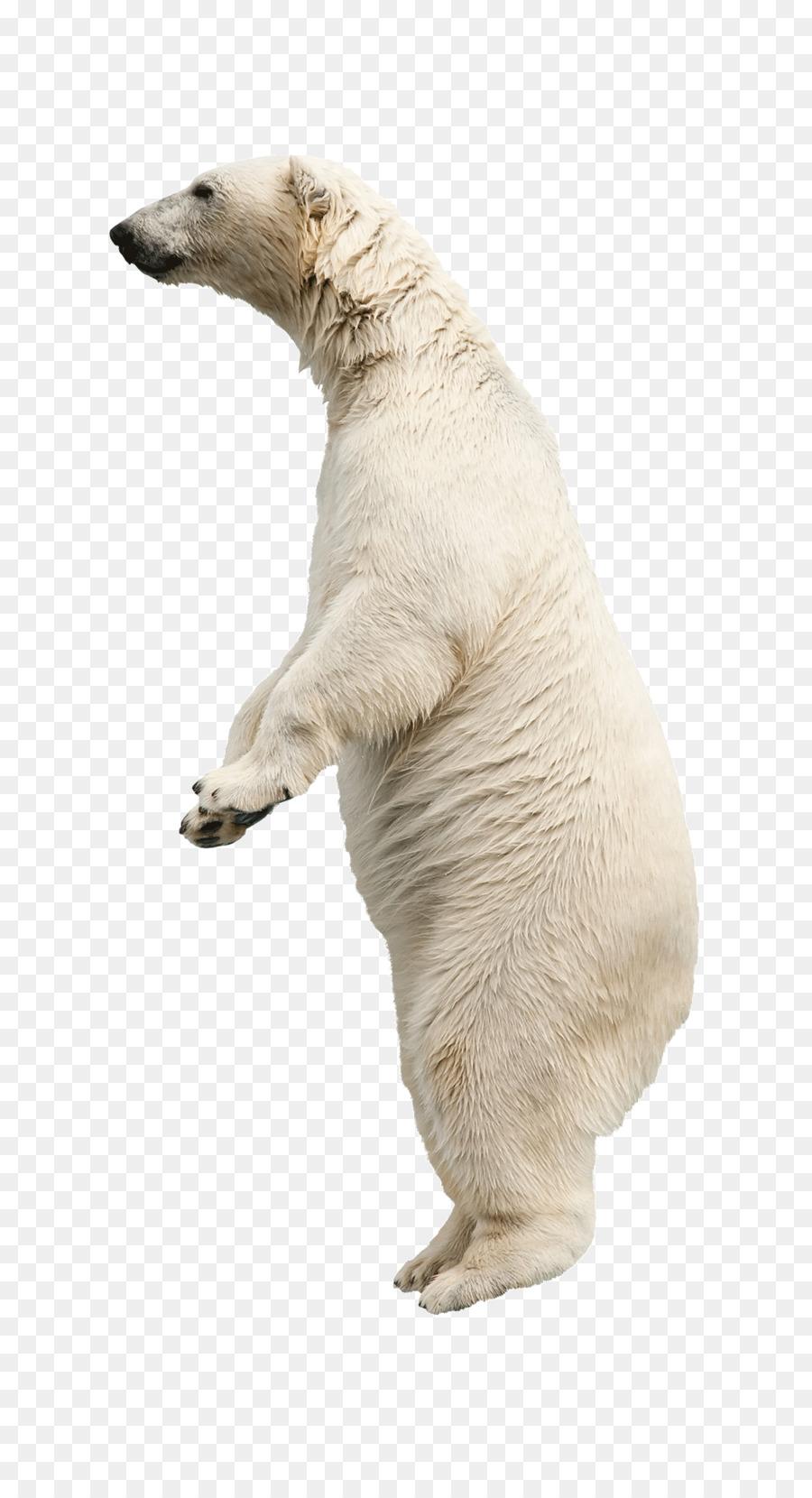 Polar stock photography clip. Bears clipart american black bear
