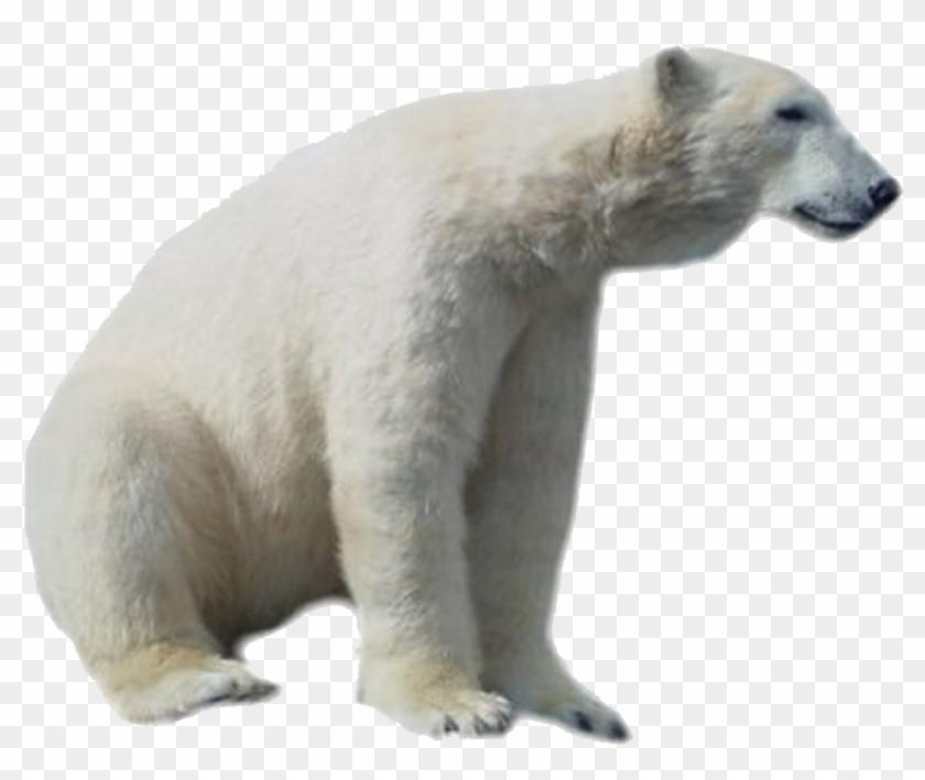 Bears clipart real. Polar bear png hd
