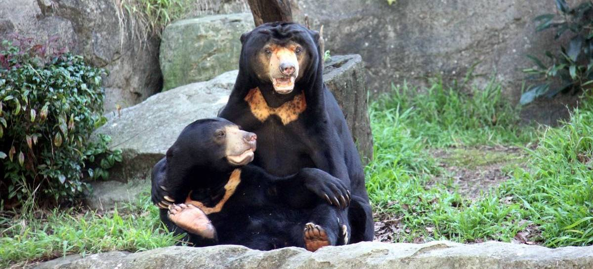 Taronga zoo location. Bears clipart sun bear