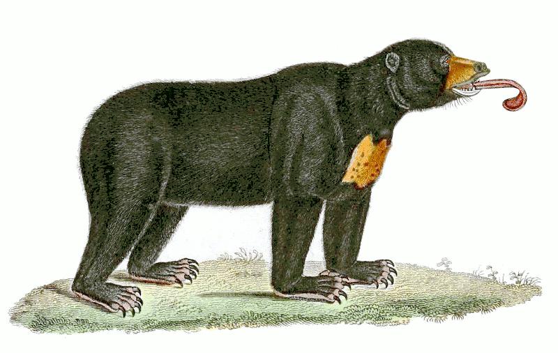 Vintage animals b malayan. Bears clipart sun bear