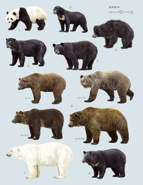 Bears clipart sun bear. Poster of the species