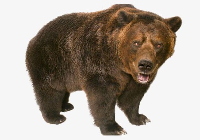 Bears clipart wild. Bear standing animals ferocious