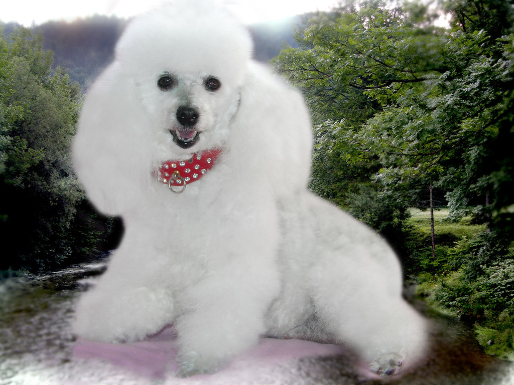 very white dog. Beautiful clipart poodle