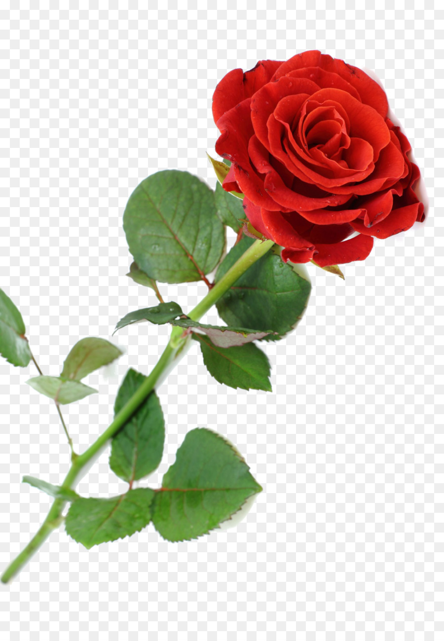 Rose clipart high resolution. Flowers background flower red