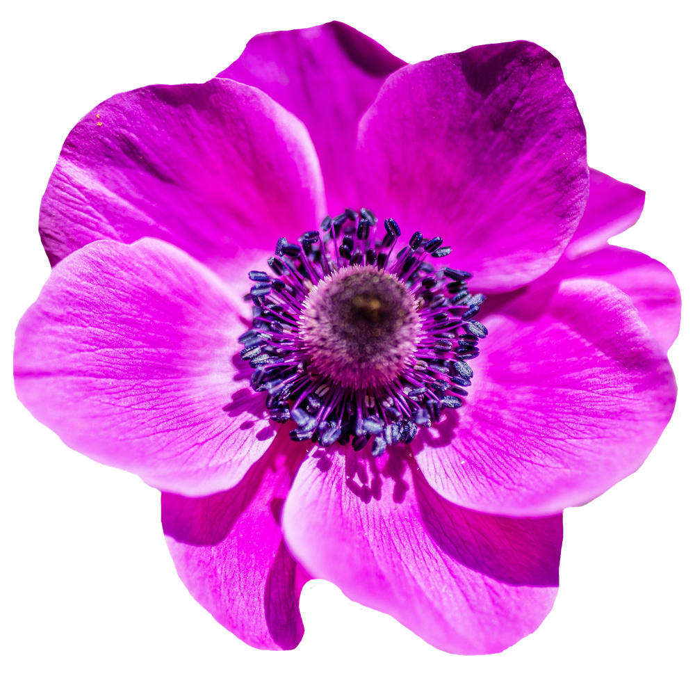 Beautiful flower png. Image purepng free transparent