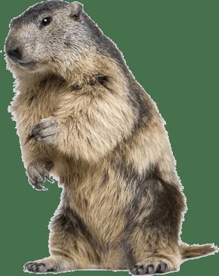 Standing png stickpng. Beaver clipart transparent background
