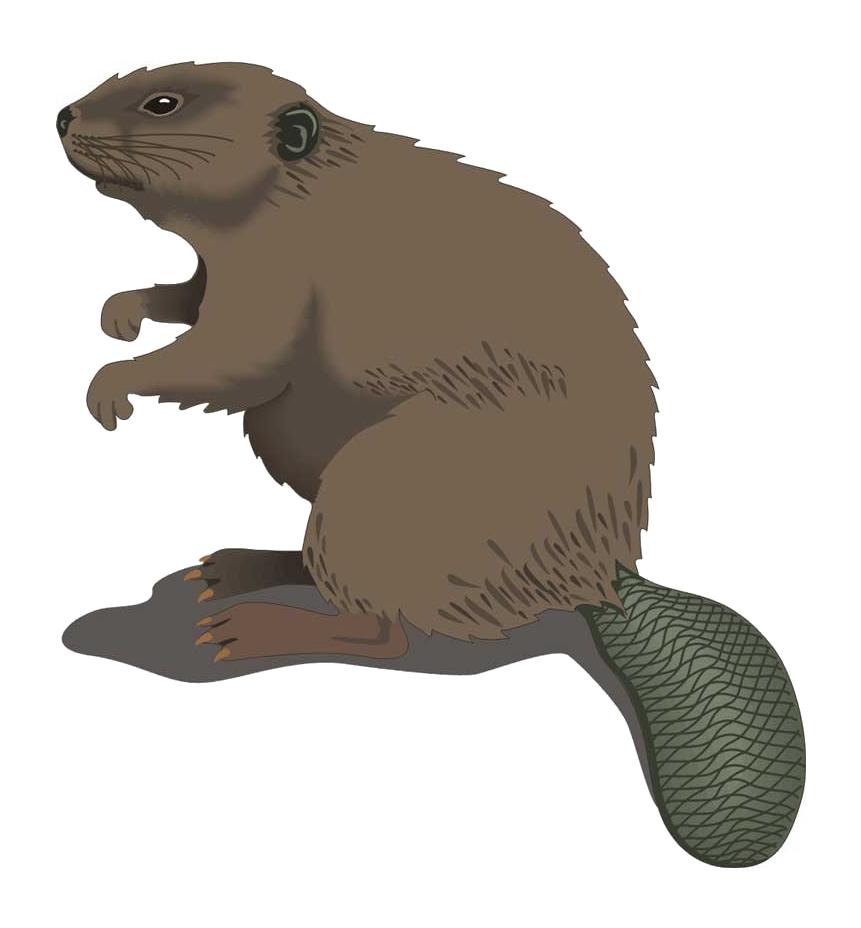 Beaver clipart transparent background. Png