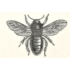 Violet drawing family history. Bee clipart carpenter bee