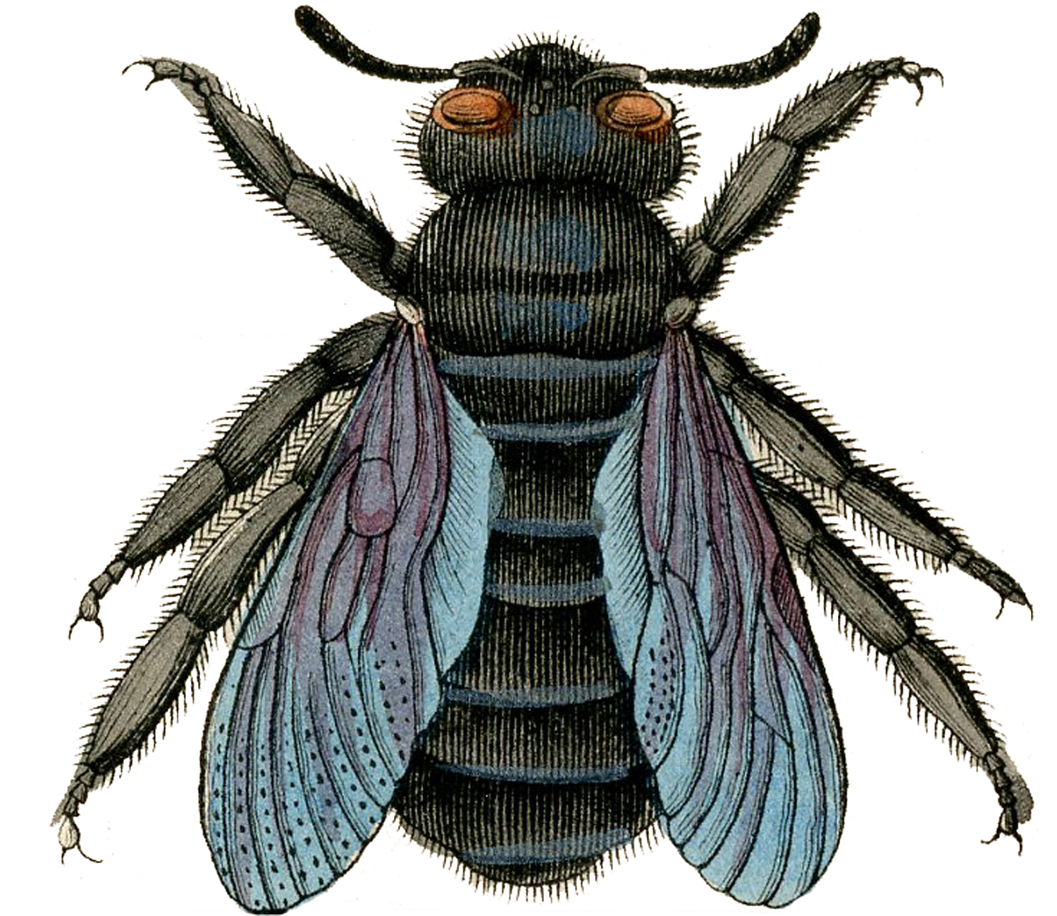 Bee clipart carpenter bee. Antique image gorgeous the