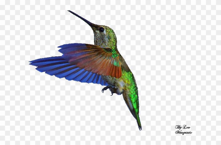 Google search photos . Hummingbird clipart bee