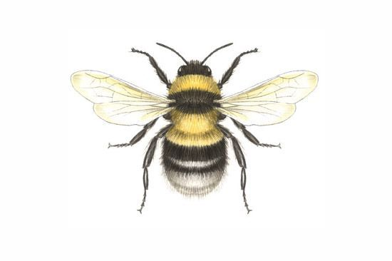 Bees clipart victorian. Vintage honey bee drawing
