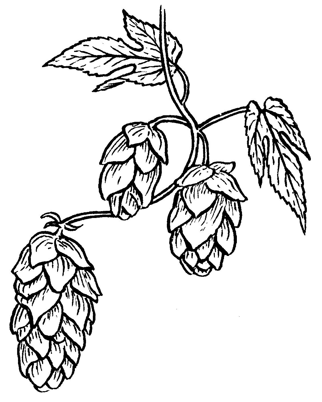 Beer bottle line drawing. Hops clipart sketch