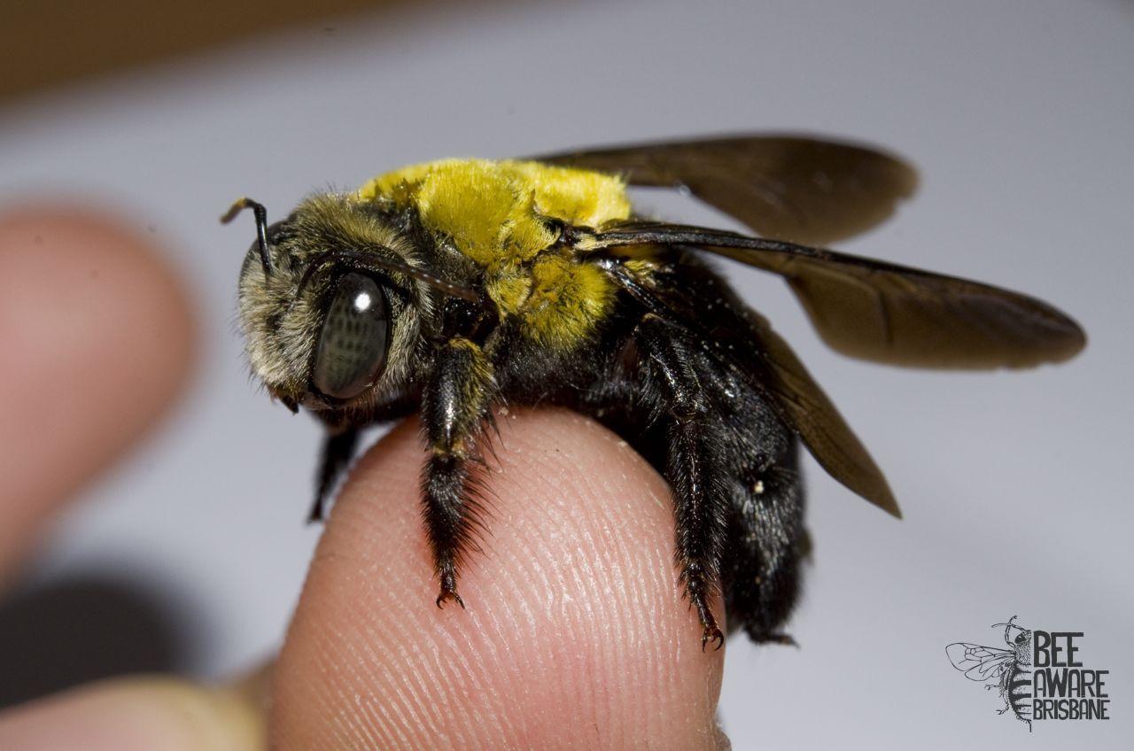 Bees clipart carpenter bee. A great xylocopa koptortosoma