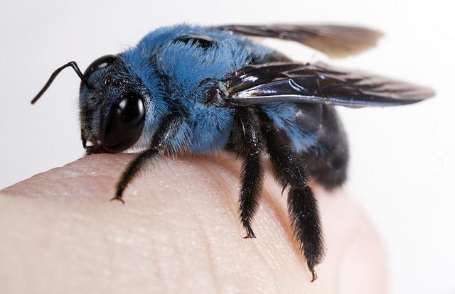 Bees clipart carpenter bee. Xylocopa caerulea the blue