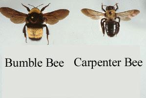 Control new jerseyassure pest. Bees clipart carpenter bee