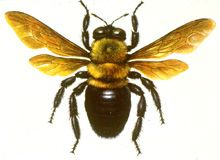 Bee clipart carpenter bee.  best bees images