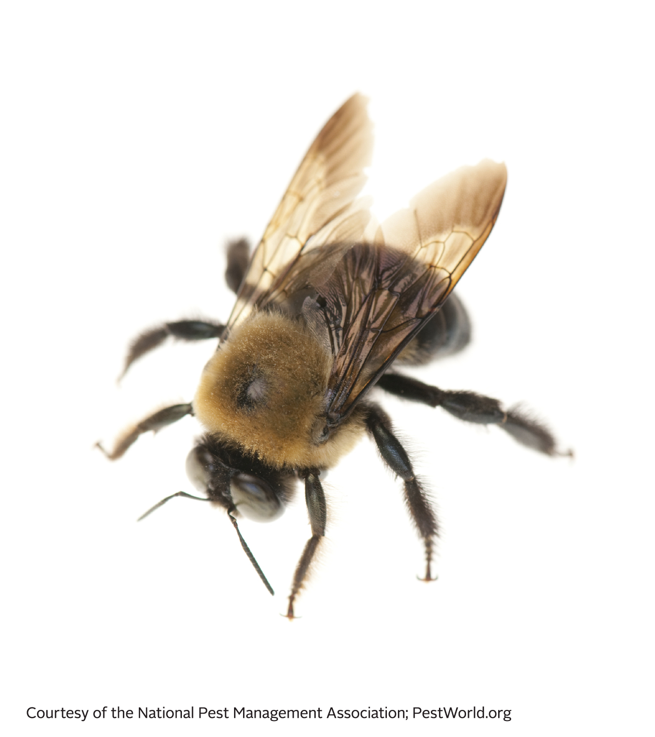 Bees clipart carpenter bee. Image facts about types