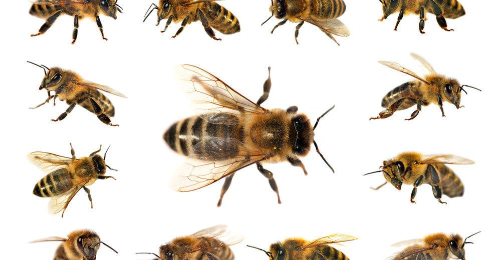 Identification ultimate guide most. Bees clipart carpenter bee