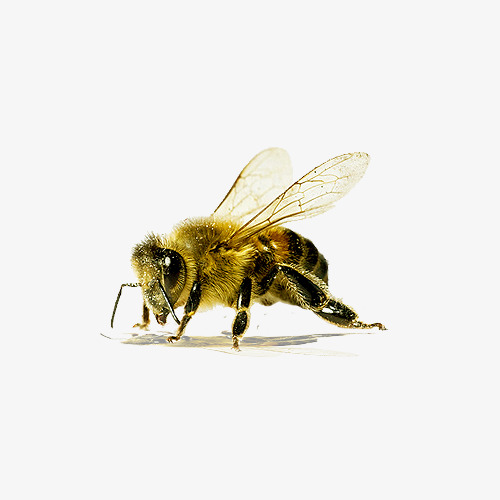 Bee clipart clear background. Transparent material wing collecting
