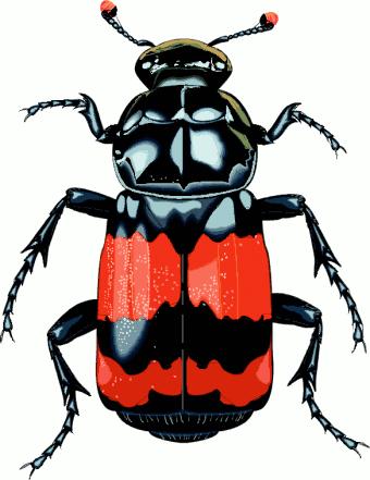 Beetle clipart bettle. Http www cksinfo com