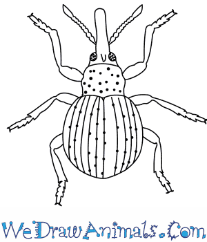 Bugs clipart boll weevil. How to draw a