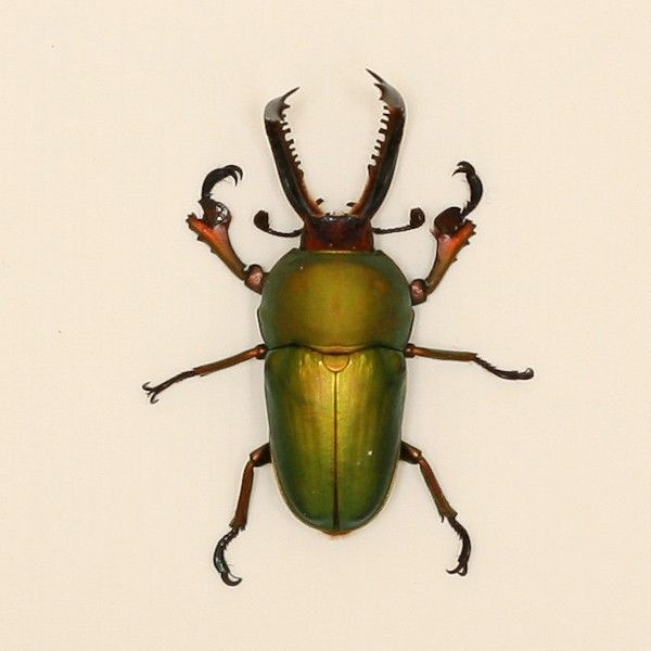 Stag real insect shadowbox. Beetle clipart green beetle