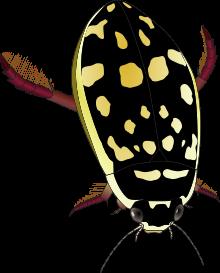 Thermonectus marmoratus wikipedia sunburst. Bugs clipart water beetle
