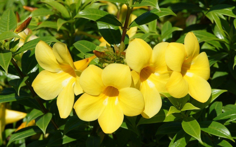 Bell clipart yellow bell. Colorchallenge flower steemkr acddaceabdbyellowbellflowerarticlereviewsyellow