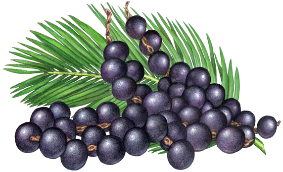 Berries clipart acai berry. Fruit illustration of three