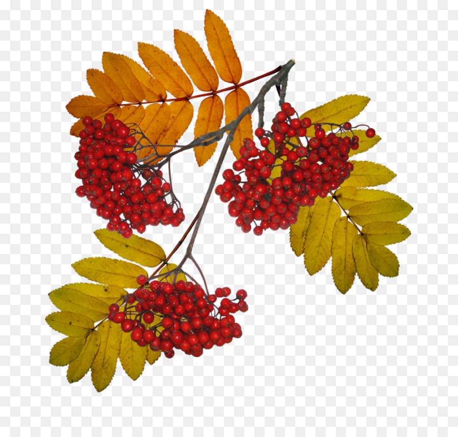 Sorbus aucuparia tree winter. Berries clipart autumn berry