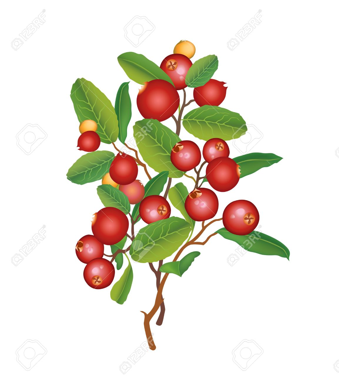 collection of holly. Bushes clipart berry
