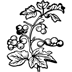 And cliparts of . Berries clipart berry branch
