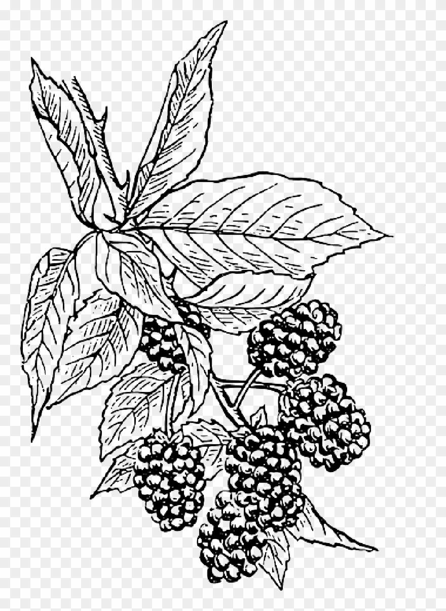 Berries clipart berry bush. Clip art black and