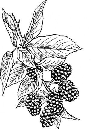 Digital drawing of blackberry. Berries clipart berry bush