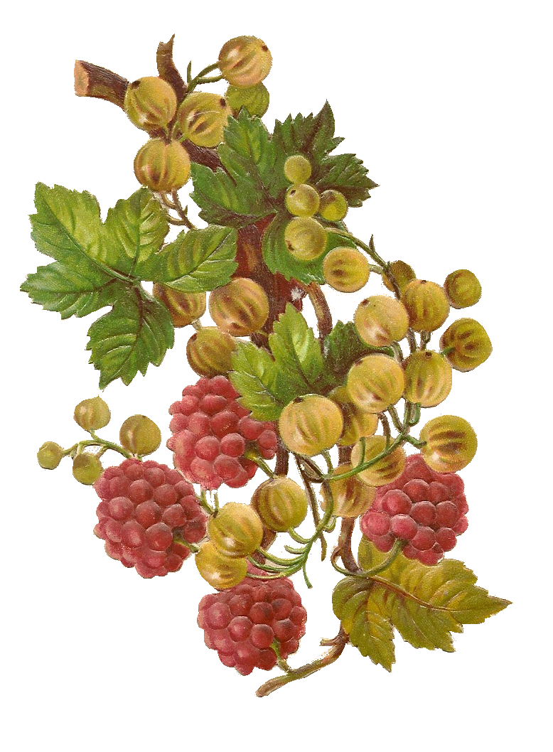Free vintage from mammasaurus. Berries clipart berry plant