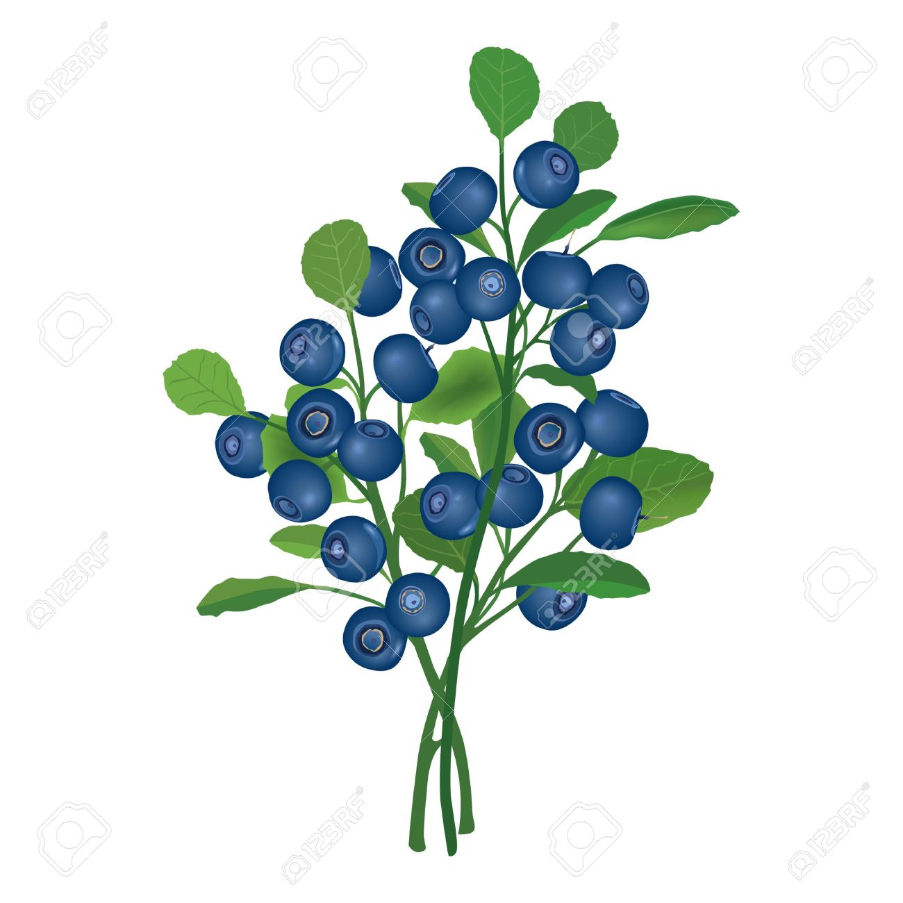 Blueberry Bush Drawing at GetDrawings
