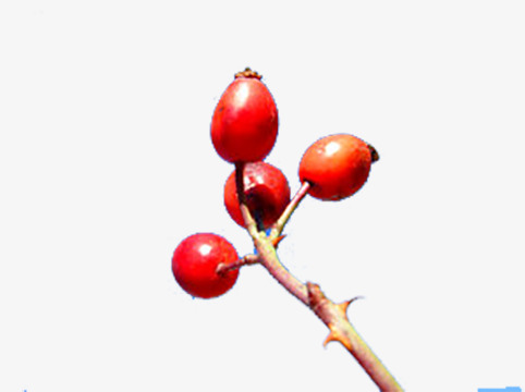 Red wild fruit png. Berries clipart berry plant