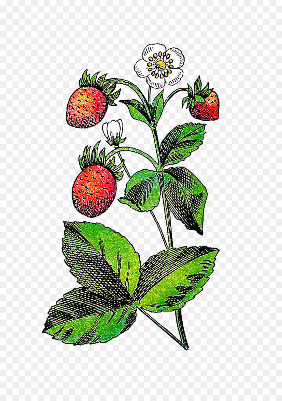 Berries clipart berry plant. Strawberry flower fruit clip