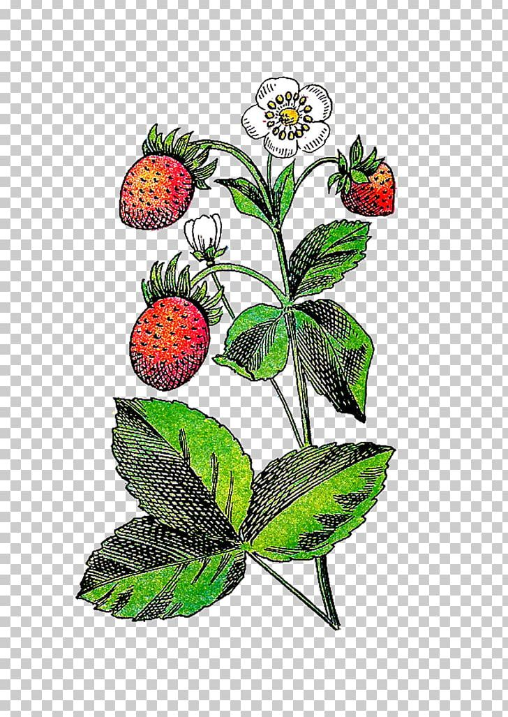 Strawberry flower fruit png. Berries clipart berry plant