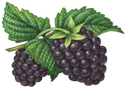 Berries clipart blackberry.  best berry illustrations