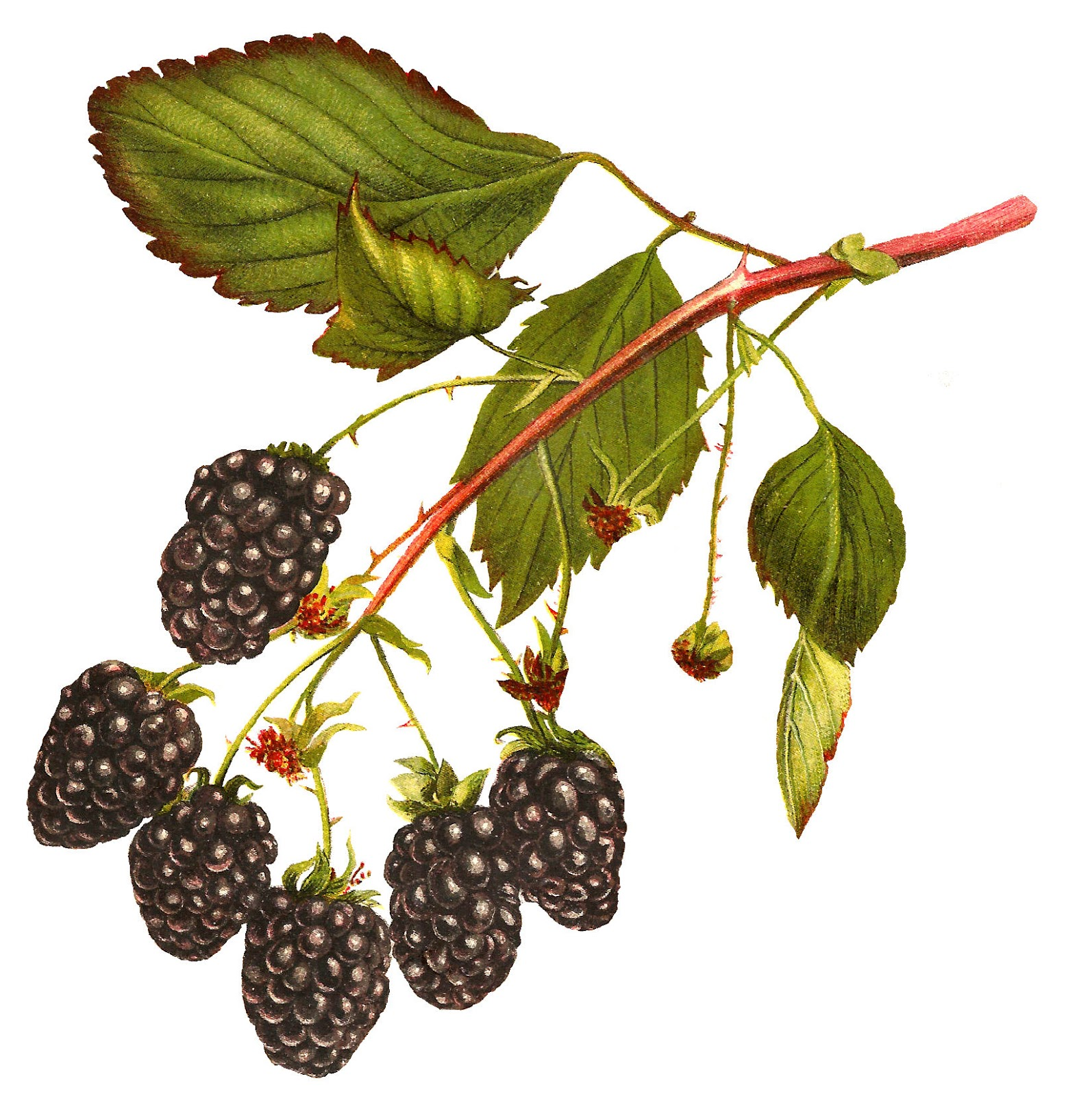 Berries clipart blackberry. Antique images free printable