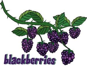 Blackberry Clipart Image Gresh Juicy Blackberries Growing On The